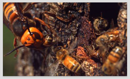 장수말벌과 꿀벌의 혈투