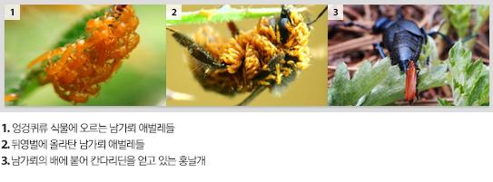 1.엉겅퀴류 식물에 오르는 남기뢰 애벌래들, 2.뒤영벌에 올라탄 남가뢰 애벌레들, 3.남가뢰의 배에 붙어 칸다리딘을 얻고 있는 홍날개