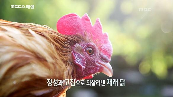 어느 보존자의 손에 의해 묵묵히 지켜진 우리의 재래 닭 [761회]