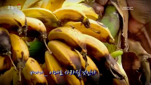 위기의 바나나! 이대로 멸종되고 말 것인가? [2937회]