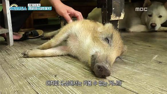 서울 도심 속 멧돼지와 수상한 동거?! [19회]